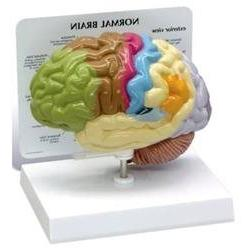 Human Brain Anatomical Model - Half Brain